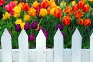 pickettulips